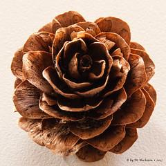 larch cones (Mattin'sFoto's) Tags: 40d eos sigma1770mm sigma canon nature natur larchcones larch cones lärchenzapfen lärche zapfen