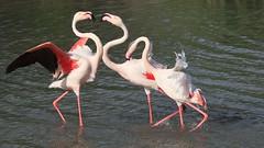 Deux contre un (Gycessé) Tags: flamantrose flamingo parcornithologique pontdegau saintesmariesdelamer camargue oiseau