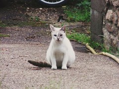 #demoi (Alex42100) Tags: demoi chat blanche photographie yeuxbleu route cat blueeyes road