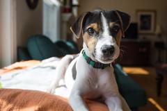 Dooley, 15 weeks old (marylea) Tags: apr22 2017 spring dooley parsonrussellterrier parsonrussell dog puppy prt jrt jackrussellterrier jackrussell terrier 15weeksold