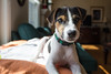 Dooley, 15 weeks old (marylea) Tags: apr22 2017 spring dooley parsonrussellterrier parsonrussell dog puppy prt jrt jackrussellterrier jackrussell terrier 15weeksold
