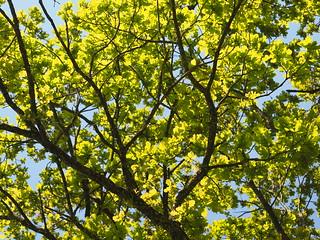© Oak Tree Leaves Spring Upper Bavaria Germany – Eiche Baum Laub Blätter Frühling Grün Bayern