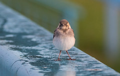 Baby Wagtail (cogs2011) Tags: wagtail canon sigma 150600c bird baby