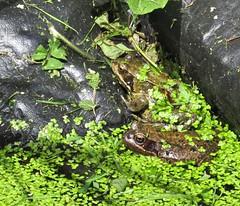 2613 Frogs (Andy - Busyyyyyyyyy) Tags: ddd duckweed fff frog gardenshoot ggg green pond ppp