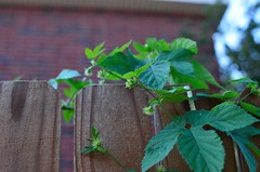 Columbus Hops (nra45acp) Tags: hops beergeek homebrew
