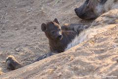 Spotted Hyena (Crocuta crocuta) Cub (pspradbrow) Tags: spottedhyena crocutacrocuta krugernationalpark kruger flickr carnivore predator animal southafrica africa wildlife wildlifephotography peterspradbrowwildlifephotography peterspradbrow hyena hyenacub baby