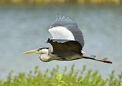 Grey Heron in flight (Bogger3.) Tags: heroninflight venuspool canon600d tamron150x600lens fullzoom coth sunrays5 coth5 specanimal