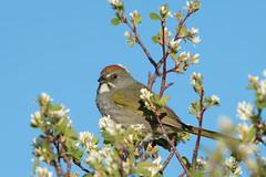 Green-tailed Towhee (Amy Hudechek Photography) Tags: greentailedtowhee towhee wildlife nature grandmesa national forest colorado amyhudechek