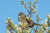 Green-tailed Towhee (Amy Hudechek Photography) Tags: greentailedtowhee towhee wildlife nature grandmesa national forest colorado amyhudechek nikond500