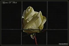 La rosa prigioniera - Giugno-2017 (agostinodascoli) Tags: rosa fiori nature macro texture cianciana sicilia nikon nikkor agostinodascoli