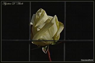 La rosa prigioniera - Giugno-2017