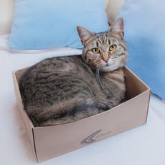 Creature comforts (The Unexplored) Tags: mackarel tabby cat feline kitten pussy shoebox box square format shot nikon nikkor 1685mm adobe lightroom thegrimgit grimgit unexplored theunexplored
