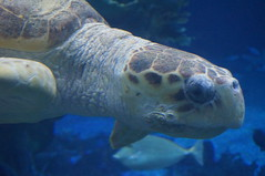 """Epcot:  Sea Turtle at the Seas with Nemo and Friends • <a style=""""font-size:0.8em;"""" href=""""http://www.flickr.com/photos/28558260@N04/33922235144/"""" target=""""_blank"""">View on Flickr</a>"""
