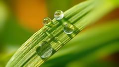 droplets 1905 (YᗩSᗰIᘉᗴ HᗴᘉS +5 400 000 thx❀) Tags: drop droplet nature green brilliant 7dwf