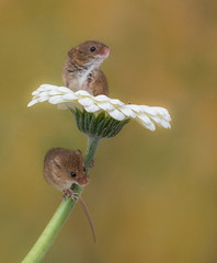 Harvest Mice- come on, the view is great up here!! (susie2778) Tags: captivelight captive studio flash olympus omdem1mkii 60mmmacrof28 harvestmouse flower gerbera