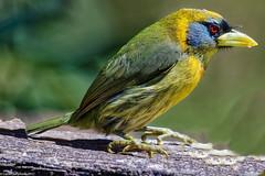 Red-headed Barbet female (Eubucco bourcierii), Costa Rica (Lassetjus photo) Tags: alajuelaprovince costarica cr