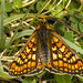 marsh fritillary (roly2008.) Tags: marshfritillary fritillary butterfly insect lepidoptera wildlife dorset canon 1dmkiv sigma180mmmacro