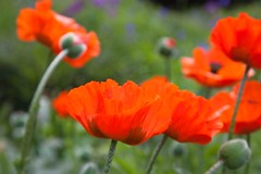 Peckham Rye Park (Adam Swaine) Tags: red flora flowers petals poppies commonpoppy peckehamryepark londonparks england english canon swaine naturelovers nature beautiful uk macro britain british photography
