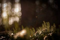 * (ursulamller900) Tags: maianthemumbifoilum insekt insects forest waldgrund wald schattenblume trioplan2950