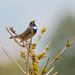 Gorgebleue à miroir - Luscinia svecica - Bluethroat (TESS4756) Tags: 2017 faune faunedenormandie gorgebleueàmiroir muscicapidés oiseaux passériformes thérèseb oudalle normandie france