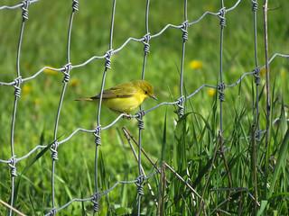 Happy Fence Friday | Paruline jaune femelle | Refuge faunique Marguerite-D'Youville | Île Saint-Bernard | Châteauguay, Québec