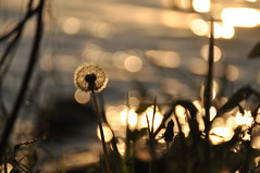 abends am See (nirak68) Tags: 099365 frühling spring 2017ckarinslinsede tegelersee borsigdamm tegel berlintegel deutschland ger 7dwf flora löwenzahn pusteblume dandelion dandelionclock bokeh