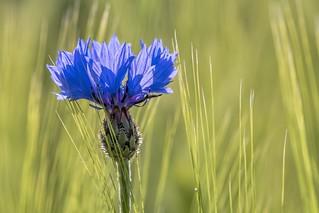 *cornflower blue*