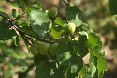 apricot tree (Georgios A.V.) Tags: dmcg3 rokkortc1004 minoltarokkortc100mmf4 bokeh bokehphotography dof