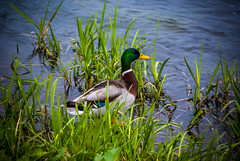 hiding (pamelaadam) Tags: ellon scotland aberdeenshire bird duck april spring 2012 digital fotolog thebiggestgroup