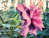 * Rosa di maggio  *  May rose  *   (own texture) * (argia world 1) Tags: rosa texture rose masterphotos