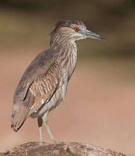 Black-crowned Night heron juvenile Reid park Tucson az