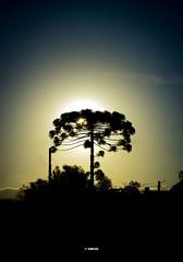 At Dusk (GMPdS) Tags: araucaria tree gmpds sony dscw610 w610 arvore shadow sombra light luz behind atras e dusk crepusculo sky ceu blue azul yellow amarelo sun sol céu gabriel moreno ao anoitecer