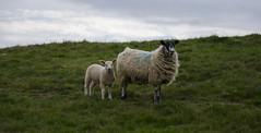 Baa (Preston Ashton) Tags: baa sheep lamb wool wooly grass field country countryside blue sky clouds prestonashton