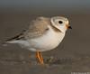 Plump and fluffy (v4vodka) Tags: birdbirding birdwatching nature wildlife animal plover pipingplover chick pipingploverchick shorebird charadriusmelodus sieweczkablada siewka sieweczka