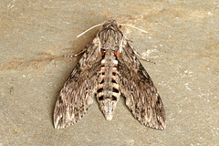 Convolvulus Hawk-moth - Agrius convolvuli (Roger Wasley) Tags: convolvulus hawkmoth agrius convolvuli macro insect moths