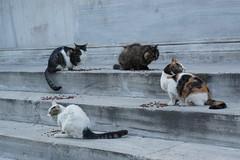 DSC01599 (Daripo) Tags: istanbul cats city street стамбул кошки город улица стрит сити