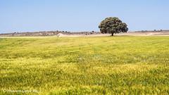 Por las llanuras de La Mancha./ Through the plains of La Mancha. (Recesvintus) Tags: 20052016 horna chinchillademontearagón albacete spain españa holmoak encina carrasca tree árbol campo crop sembrado field countryfield outdoor landscape paisaje lamancha recesvintus sonyilce5100 sonya5100 tamronadaptall2sp60300mmf385423a
