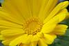 Thésée-la-Romaine (Loir-et-Cher) (sybarite48) Tags: théséelaromaine loiretcher france souci souciofficinal calendulaofficinalis marigold fleur blume flower زهرة 鲜花 flor λουλούδι fiore 花 bloem kwiat цветок çiçek jaune yellow gelb أصفر 黄 amarillo κίτρινοσ giallo 黄色 geel żółty amarelo желтый sarı