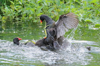 Moorhen fight1_MG_4810