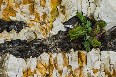 Lebensraum (Seahorse-Cologne) Tags: normandie fécamp frankreich france francia pflanze stein kreidefelsen yport