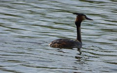 Looking backwards (Lexie's Mum) Tags: walks walking coombecountrypark coombe coombeabbey warwickshire nature spring bird birds wildlife wildfowl waterfowl grebe greatcrestedgrebe