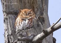 Eastern Screech Owl 2 (martinaschneider) Tags: easternscreechowl owl raptor bird birdsofprey birdofprey redmorph burlington ontario cemetery tree trees