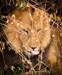 African Lion (Rod Waddington) Tags: africa african afrique afrika animal wild lion queen elizabeth national park wildlife portrait nature