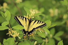 tiger Swallowtail on Honeysuckle (Salamanderdance) Tags: tiger swallowtail butterfly yellow black insect honeysuckle morrows invasive plant spring animal nature pollination