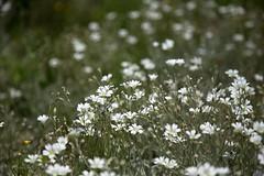 Phlox subulata (Ichigo Miyama) Tags: シバザクラ phlox subulata 芝桜 flower plant phloxsubulata