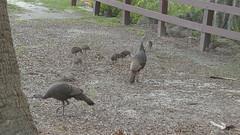 FAMILY OF WILD TURKEYS (melvin.icenogle2) Tags: wildturkeys