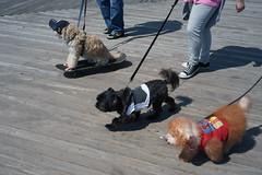 Trio (dtanist) Tags: nyc newyork newyorkcity new york city sony a7 konica hexanon 40mm brooklyn dog dogs owner owners pet pets skateboard leash coney island boardwalk