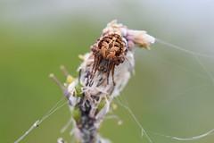 Araneidae (esta_ahi) Tags: lescantarelles santmartísarroca penedès barcelona spain españa испания fauna aranya araña spider araneidae arachnida