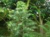 Wollemia Nobilis 13.06.2015. (NashiraExoticGarden) Tags: wollemianobilis exotentuin exoticgarden 13062015
