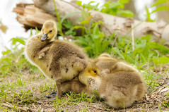 Goslings (bakosmike) Tags: goslings waterfowl duck ducks nikon d300 sigma 150600mm contemporary whitbyont wildlife animal nature cute baby babies fluffy spring